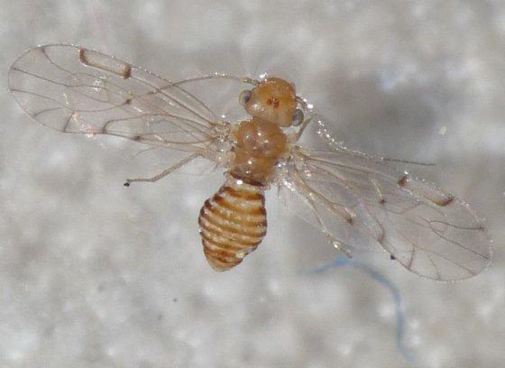 Barklouse 2 - Ectopsocus meridionalis