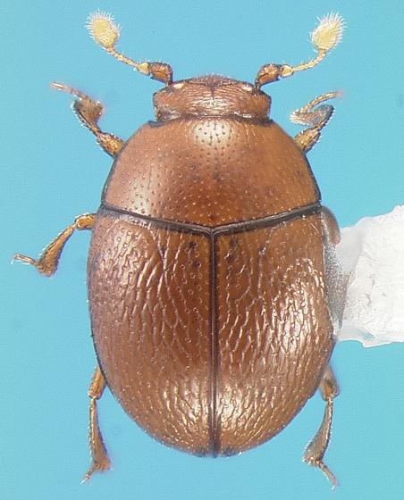 Histerid - Bacanius punctiformis