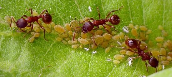 ants & aphids - Myrmica - female