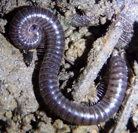 Millipede - Ptyoiulus impressus