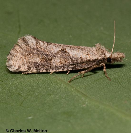 Moth - Acrolophus macrophallus