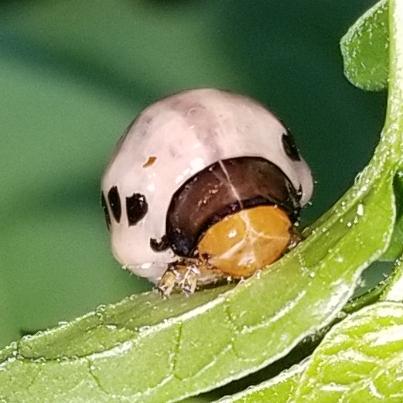 Bug 🐛, Beetle…  Larvae?!! - Leptinotarsa