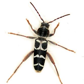 Black White Striped Beetle - Neoclytus caprea