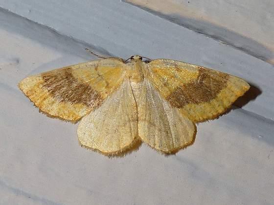 6431 - Sulphur Moth - Hesperumia sulphuraria - female