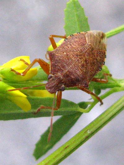 Stink Bug - Podisus maculiventris