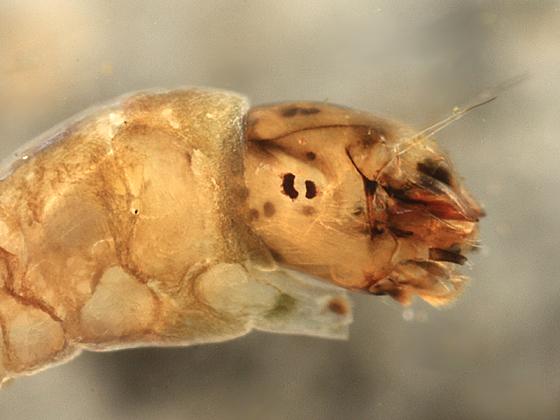 Black Fly - Stegopterna mutata