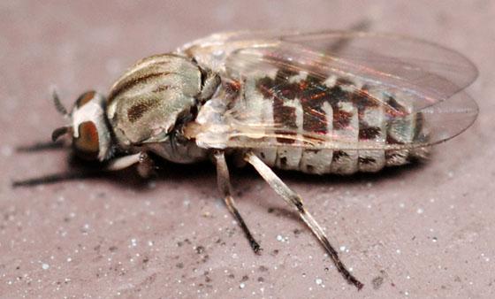 black fly - Simulium - female