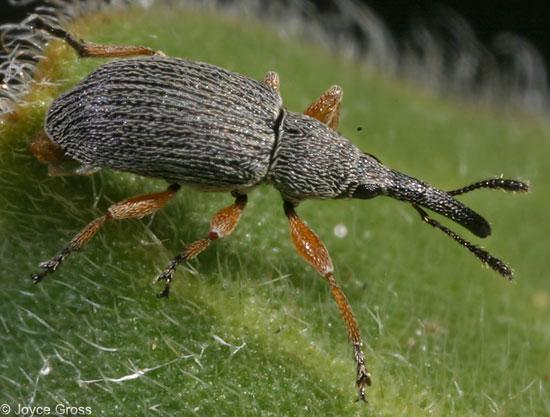 Apion longirostre - Rhopalapion longirostre - male
