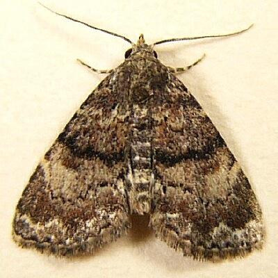 Richard's Fungus Moth - Metalectra richardsi