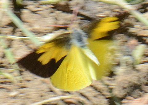 Dogface Butterfly - Zerene eurydice - male