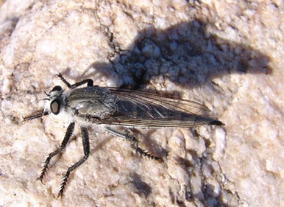 Robber fly - Promachus aldrichii