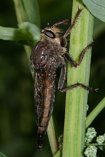 Robber Fly - Proctacanthus nigriventris - female