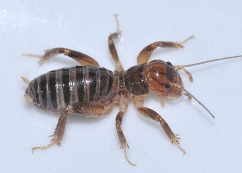 Stenopelmatus sp.  - Stenopelmatus