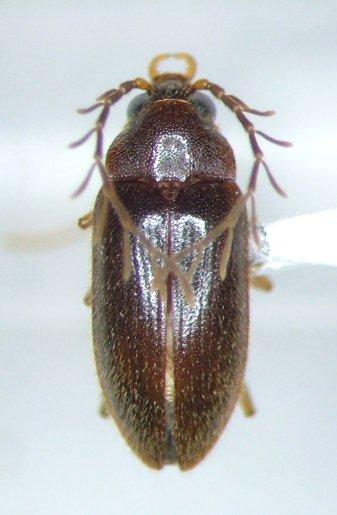 Ptilodactyla carinata - male