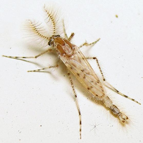 Chaoborus punctipennis - male
