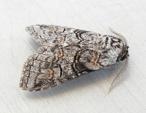 Arizona Moth - Afilia oslari - male