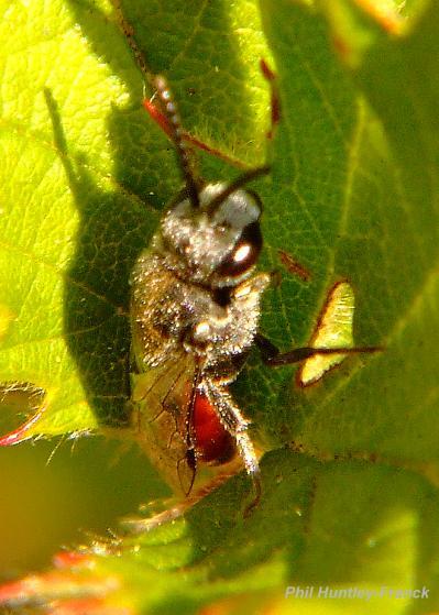 Sleeping wasp?? - Sphecodes