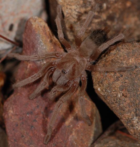Aphonopelma spiderling? - Aphonopelma chalcodes