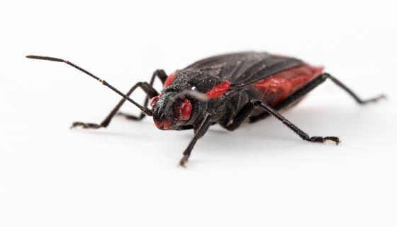 bug ID - Jadera haematoloma