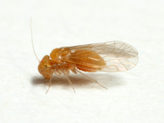 Lachesilla forcepeta  Chapman - Lachesilla forcepeta - female