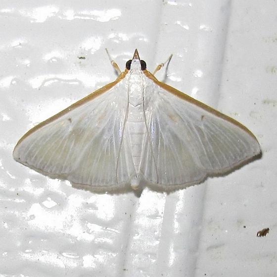 Hodges #5216 - Diaphania costata - Diaphania costata - female