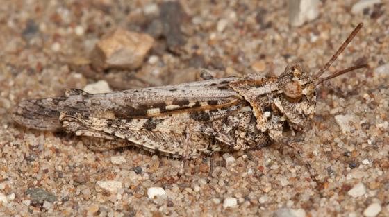 Cristate Grasshopper - Conozoa texana - male
