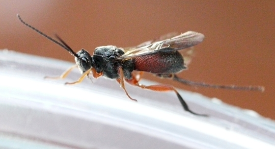 wasp - Urosigalphus - female