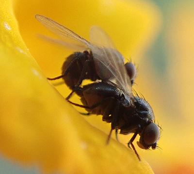 fly - male - female