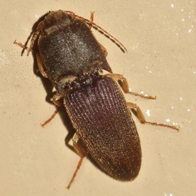 Gulf Wireworm Beetle - Heteroderes amplicollis