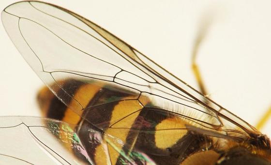 Syrphidae, hemp-nettle - Syrphus