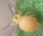 Bourletiella arvalis or Deuterosminthurus nonfasciatus?