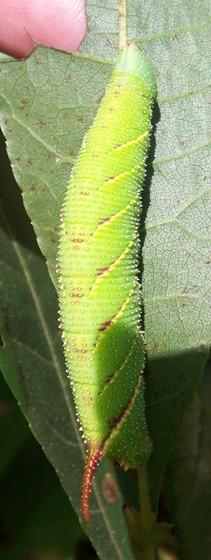 Amorpha juglandis - Walnut Sphinx - Hodges #7827 - Amorpha juglandis