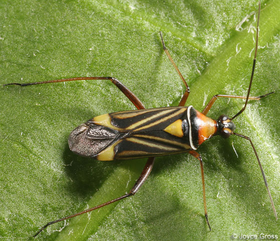 colorful bug - Closterocoris amoenus