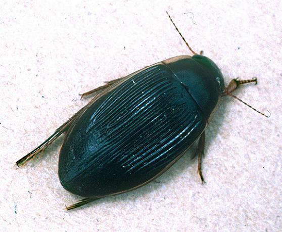 Cordier Diving Beetle - Dytiscus cordieri