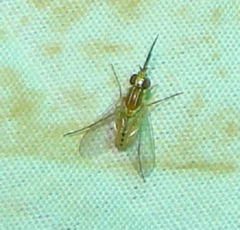 phthiriinae poecilognathus poecilognathus - Poecilognathus