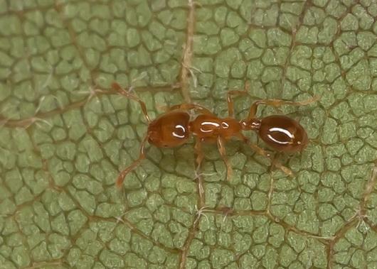 - Solenopsis molesta