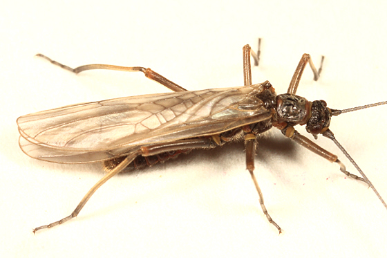 stonefly - Taeniopteryx parvula