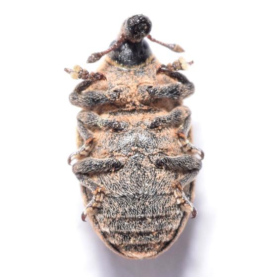 Larinus - Larinus obtusus