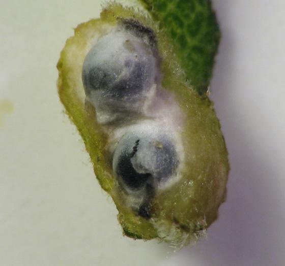 Goldenrod gall mystery - Galeopsomyia