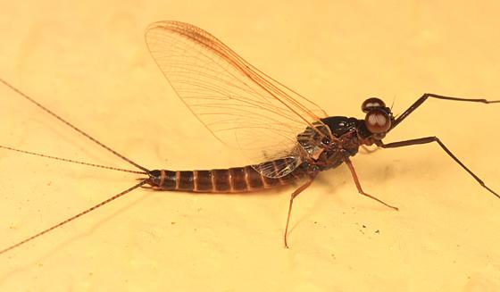 Mayfly - Leptophlebia - male