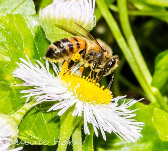 Honeybee? - Apis mellifera - female