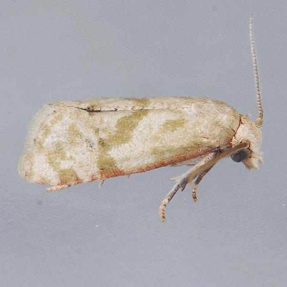 3831  - Platphalonidia magdalenae