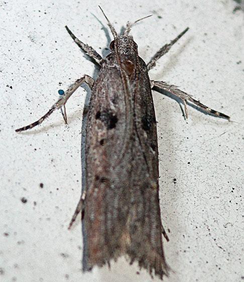 146 - Pyramidobela angelarum