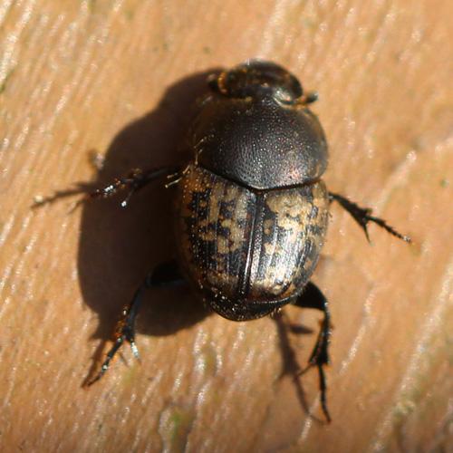 Scarab Beetle (Scarabaeidae) - Onthophagus nuchicornis