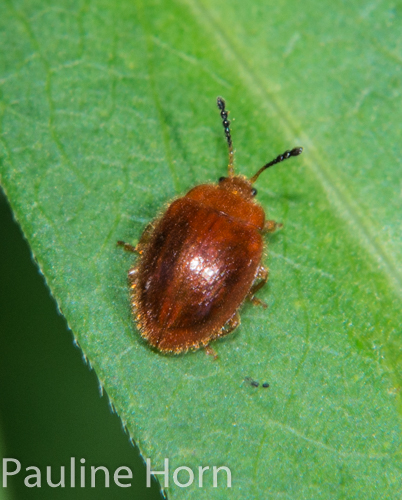 ? Beetle - Stenotarsus blatchleyi
