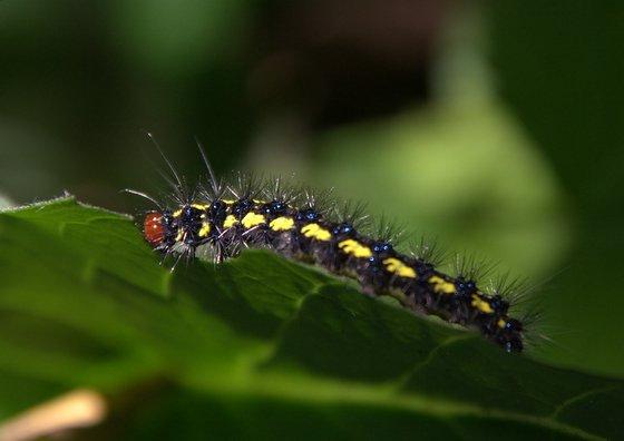 Caterpillar on Hound's Tongue - Gnophaela latipennis