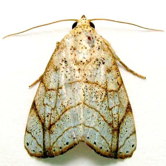 Bagisara tristicta - Hodges # 9176  - Bagisara tristicta