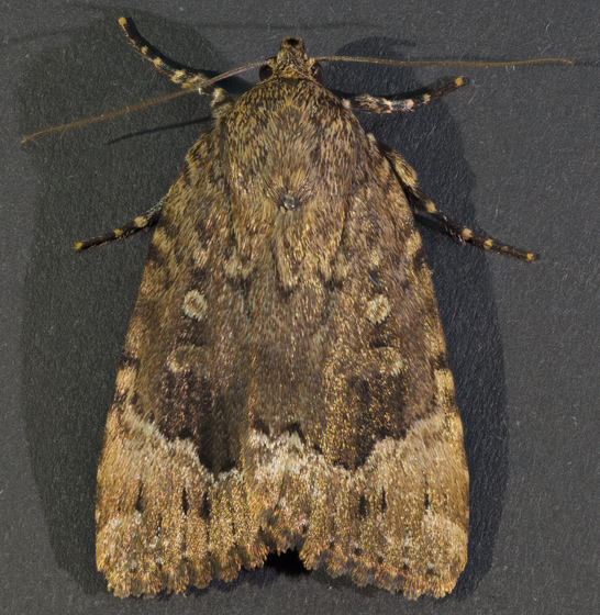Copper Underwing Moth - Amphipyra pyramidoides