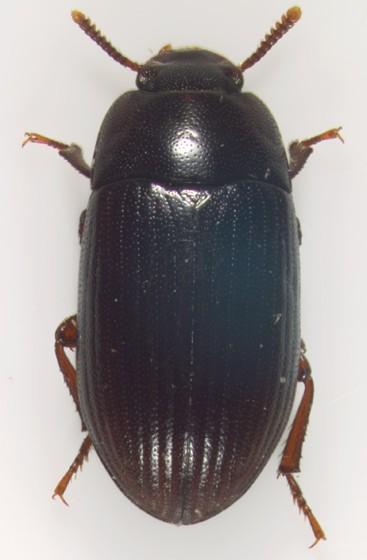 Tenebrionidae, dorsal - Alphitobius diaperinus