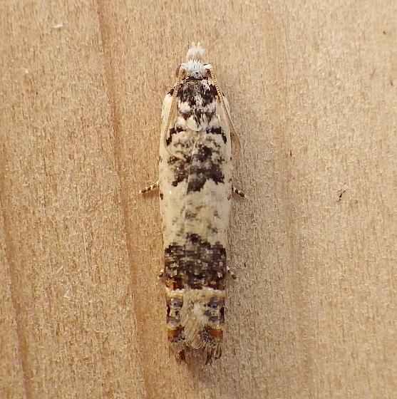 Tortricidae: Phaneta ornatula - Eucosma ornatula
